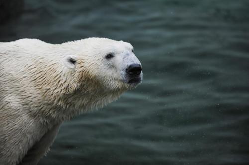 국내 유일 북극곰 통키 에버랜드 떠나 영국 간다.1jpg.jpg
