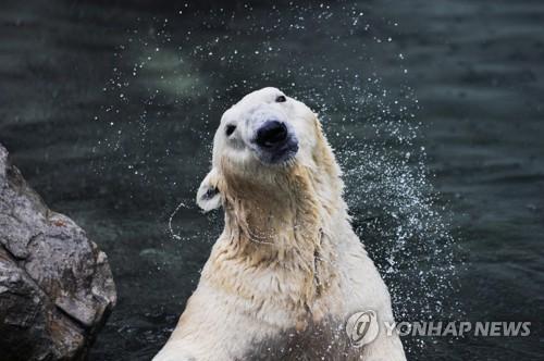 국내 유일 북극곰 통키 에버랜드 떠나 영국 간다.jpg
