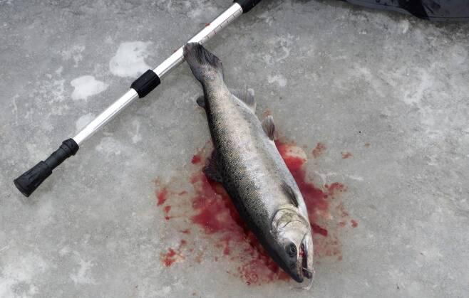 산천어 죽음'의 축제.jpg