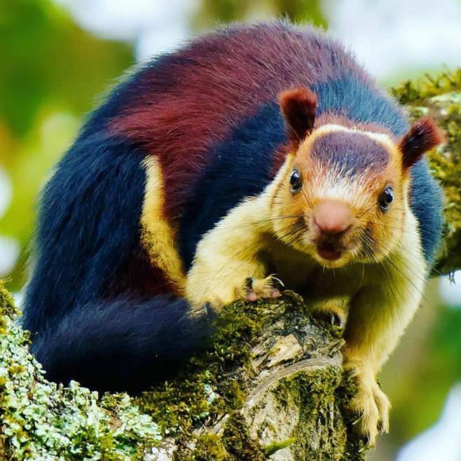 인도 숲에는 화려한 털옷 입은 원숭이만한 다람쥐 산다1.jpg