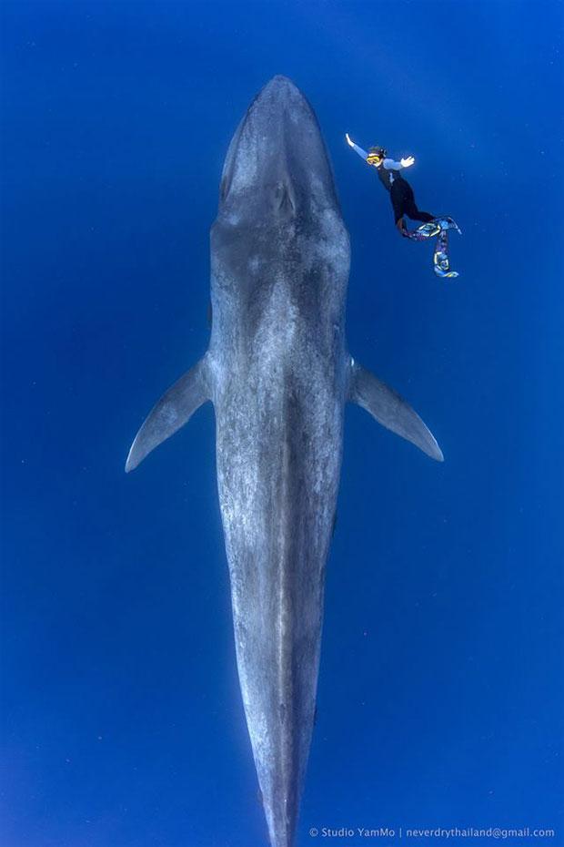 지구상 최대 크기 동물 거대 '대왕고래 포착.jpg