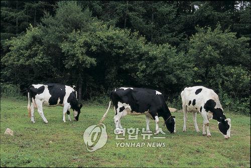 소에게 해초 먹여 지구 온난화 막는다.jpg