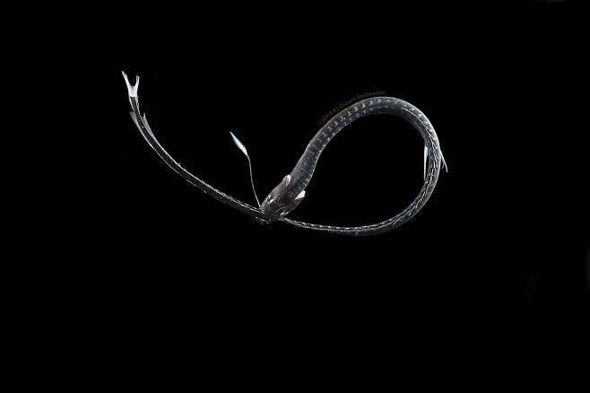 먹물 같은 심해 어둠 속에 숨은 '울트라 블랙' 물고기 비밀 풀어2.jpg