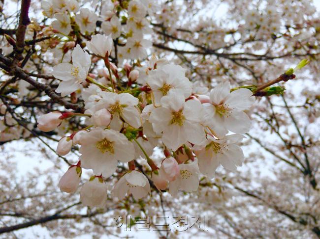 벚꽃 즐기는게 찜찜하시나요.jpg