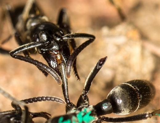 """""""나를 버리고 가라""""…전투 중 희생하는 부상 개미.jpg"""