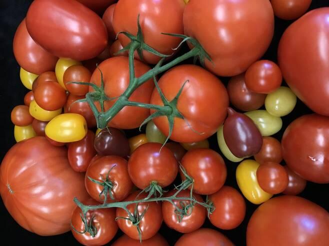 슈퍼푸드 토마토 속에 숨겨진 수십만개의 돌연변이 비밀.jpg