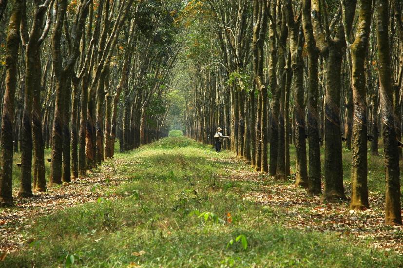 인도네시아 고무농장 (8).jpg